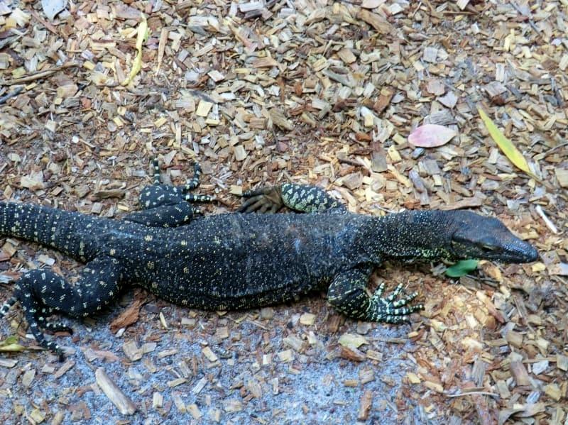 Goanna, Fraser Island