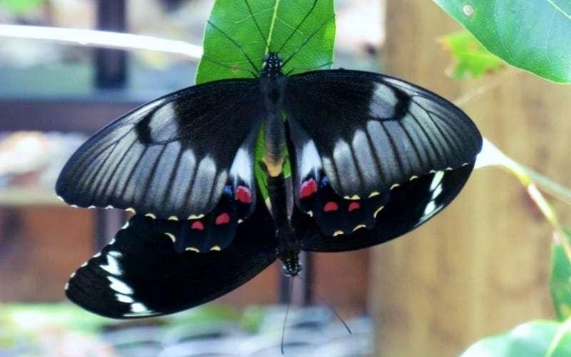 Butterfly mating season, Fraser Island