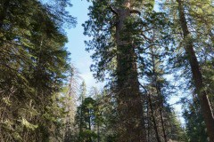 Big Red, Giant Sequoia Trees - Bucket List Road Trips: Driving from San Francisco to Mammoth Lakes