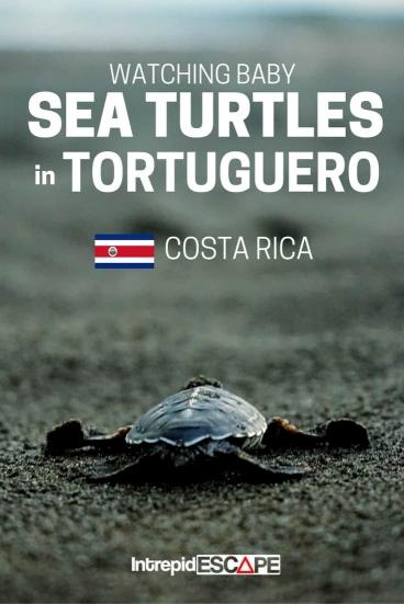 Baby Sea Turtles in Tortuguero