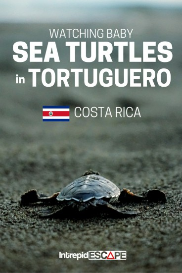 Baby Sea Turtles in Tortuguero