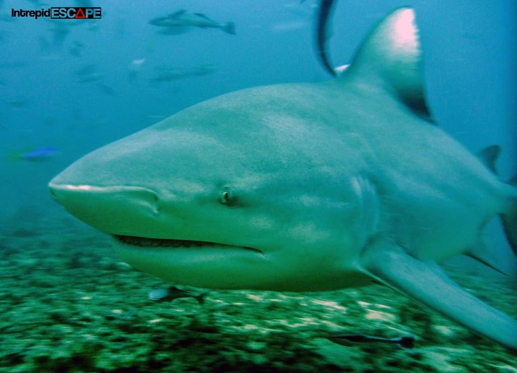 Terrifying Bull Shark