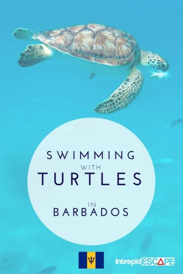 Swimming with Turtles, Barbados - Intrepid Escape