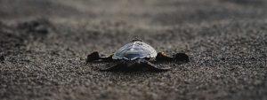 Baby Sea Turtles Tortuguero