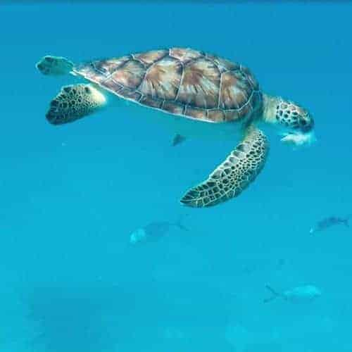Swimming with Turtles Barbados - Intrepid Escape